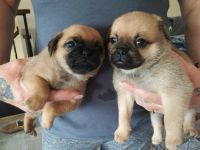 Pug Puppies for sale in Spokane Valley, WA, USA. price: NA