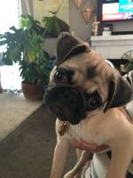 Pug Puppies for sale in Brentwood, CA 94513, USA. price: NA