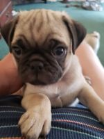 Pug Puppies for sale in Eddy County, NM, USA. price: NA