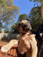 Pug Puppies for sale in Steele Creek, Charlotte, NC, USA. price: NA