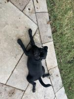 Pug Puppies for sale in Goodyear, AZ, USA. price: NA