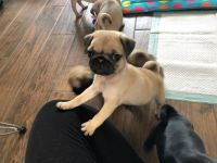 Pug Puppies for sale in Nashville, TN, USA. price: NA