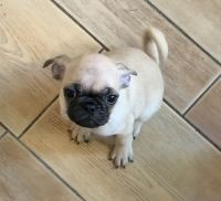 Pug Puppies for sale in Torrance, CA, USA. price: NA
