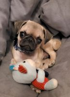 Pug Puppies for sale in El Paso, TX 79938, USA. price: NA