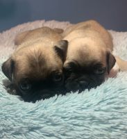 Pug Puppies for sale in 15740 Old Houston Rd, Conroe, TX 77302, USA. price: NA
