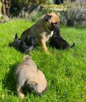 Pug Puppies for sale in Joplin, MO, USA. price: NA