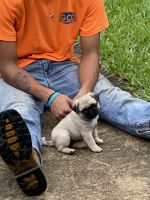 Pug Puppies for sale in Center Hill, FL 33514, USA. price: NA