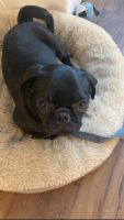 Pug Puppies for sale in Orlando, FL, USA. price: NA