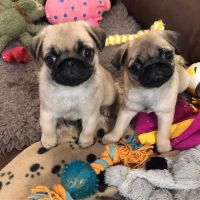 Pug Puppies for sale in Los Gatos, CA, USA. price: NA