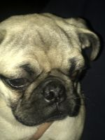 Pug Puppies for sale in South Gate, CA, USA. price: NA
