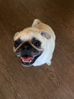 Pug Puppies for sale in Ladson, SC, USA. price: NA