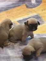 Pug Puppies for sale in Los Angeles County, CA, USA. price: NA