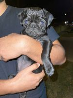 Pug Puppies for sale in Anaheim, CA, USA. price: NA