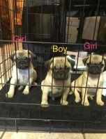 Pug Puppies for sale in 453 E Birch St, Farmersville, CA 93223, USA. price: NA