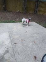 Pug Puppies for sale in St Charles, MD 20603, USA. price: NA