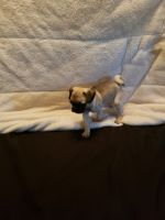 Pug Puppies for sale in Boulder, CO 80301, USA. price: NA