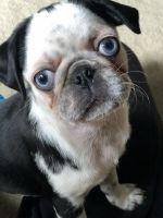 Pug Puppies for sale in Cape Coral, FL, USA. price: NA