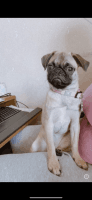 Pug Puppies for sale in Waldorf, MD, USA. price: NA