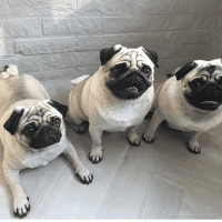 Pug Puppies for sale in 157 Dolson Ave, Middletown, NY 10940, USA. price: NA