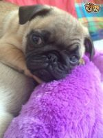 Pug Puppies for sale in Pittsburgh, PA, USA. price: NA