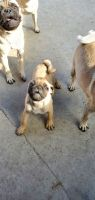 Pug Puppies for sale in City of Industry, CA 91746, USA. price: NA