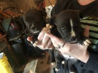 Pug Puppies for sale in 3071 Mulberry Rd, Nathalie, VA 24577, USA. price: NA