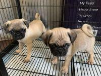 Pug Puppies for sale in La Puente, CA, USA. price: NA