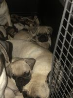 Pug Puppies for sale in Colton, CA 92324, USA. price: NA