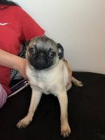 Pug Puppies for sale in Lynn Haven, FL, USA. price: NA