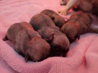Pug Puppies for sale in Pueblo, CO, USA. price: NA