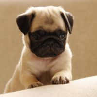 Pug Puppies for sale in New York, NY, USA. price: NA