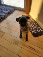 Pug Puppies for sale in Hudson, WI 54016, USA. price: NA