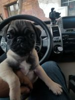 Pug Puppies for sale in San Francisco, CA, USA. price: NA