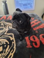 Pug Puppies for sale in New Hudson, Lyon Charter Twp, MI 48165, USA. price: NA