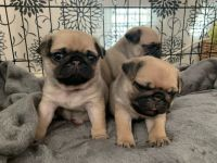 Pug Puppies for sale in California St, San Francisco, CA, USA. price: NA