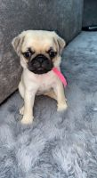 Pug Puppies for sale in 440 W 114th St, New York, NY 10025, USA. price: NA