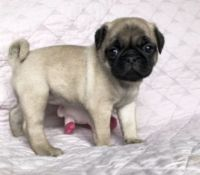 Pug Puppies for sale in Carol City, FL 33056, USA. price: NA