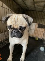 Pug Puppies for sale in Pensacola, FL, USA. price: NA