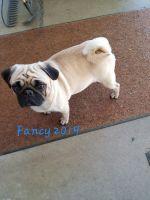 Pug Puppies for sale in Pewamo, MI 48873, USA. price: NA