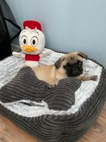 Pug Puppies for sale in St. Petersburg, FL, USA. price: NA
