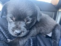 Pug Puppies for sale in Oceanside, CA, USA. price: NA