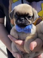 Pug Puppies for sale in Norwalk, CA, USA. price: NA