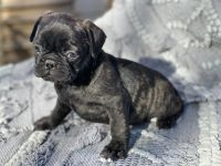 Pug Puppies for sale in Round Rock, TX, USA. price: NA