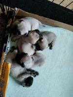Pug Puppies for sale in Ridgeway, VA 24148, USA. price: NA