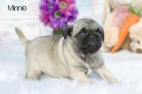 Pug Puppies for sale in Clare, MI 48617, USA. price: NA