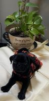 Pug Puppies for sale in Jacksonville, FL, USA. price: NA