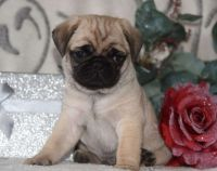 Pug Puppies for sale in Las Vegas, NV 89103, USA. price: NA