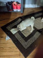 Pug Puppies for sale in Markham, IL, USA. price: NA