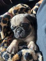 Pug Puppies for sale in Modesto, CA, USA. price: NA