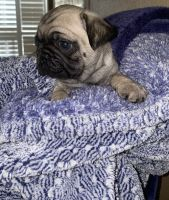 Pug Puppies for sale in Merced, CA, USA. price: NA